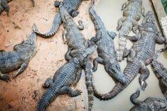 Große Krokodile in Kambodscha lizenzfreie stockbilder