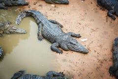 Große Krokodile in Kambodscha lizenzfreies stockfoto