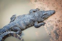 Große Krokodile in Kambodscha stockfoto