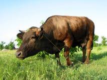 Große Kuh Stockfotografie