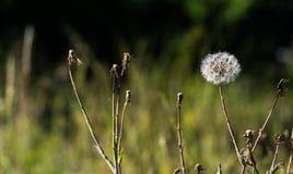 Große Löwenzahnart Blume lizenzfreies stockfoto