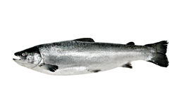 Große Lachsfische getrennt Stockfotografie