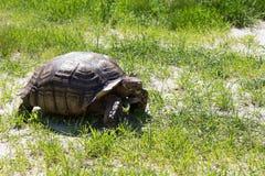 Große Landschildkröte Riesige Schildkröte auf dem Gras Lizenzfreie Stockfotografie