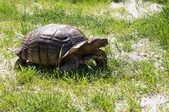 Große Landschildkröte Riesige Schildkröte auf dem Gras Lizenzfreie Stockfotos