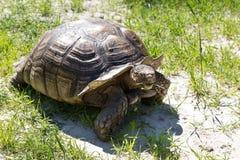 Große Landschildkröte Riesige Schildkröte auf dem Gras Stockfotografie
