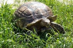 Große Landschildkröte Riesige Schildkröte auf dem Gras Lizenzfreie Stockbilder