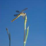 Große Libelle auf Stamm stockbilder