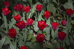 Große Lichtung punktiert mit den mehrfarbigen Tulpen beleuchtet durch den hellen Sonnenschein lizenzfreies stockbild