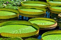 Große Lilly Pads Floating Stockbild