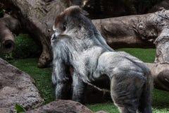 Silverbackgorilla Stockfotografie