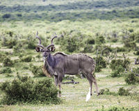Große männliche kudu Antilope Lizenzfreie Stockbilder
