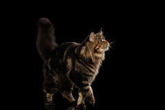 Große Maine Coon Cat Walk, Pelzendstück, lokalisierter schwarzer Hintergrund Lizenzfreies Stockfoto