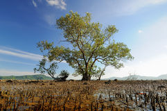Große Mangrove Lizenzfreies Stockfoto
