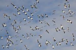 Große Menge der Flugwesen-Schnee-Gänse stockfoto