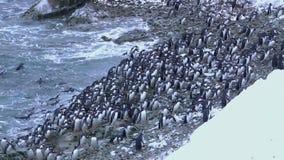 Große Menge des Pinguins Gentu, der zum Ufer der antarktischen Insel am Winterabend geht stock video
