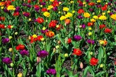 Große Menge rote Tulpen Tulpen in der typischen Landschaft Stockfoto