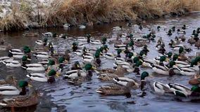 Große Menge von Enten und von Enterichen in der Flussmündung im kalten Herbst stock video footage