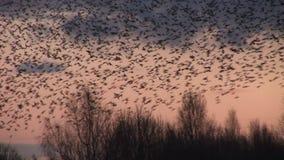 Große Menge von schwarzen Vogelstaren fliegen niedrig über Bäume nah herauf Schuss stock footage