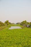 Große Menge Wasserhyazinthen schwimmen auf Kanal Stockbild