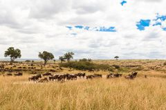 Große Migration auf den Serengeti-Ebenen Masai Mara, Afrika lizenzfreies stockbild