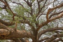 Große Mimose Lizenzfreie Stockbilder