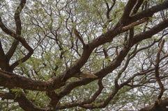 Große Mimose Stockbild