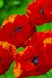 große Mohnblumen Stockbilder