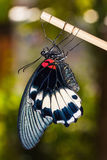 Große mormonische (Papilio memnon agenor) Basisrecheneinheit Stockfoto