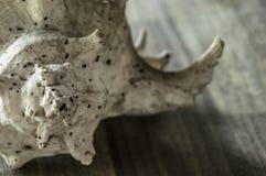 Große Muschel auf Holztisch Lizenzfreies Stockfoto
