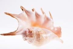 Große Muschel lokalisiert auf weißem Hintergrund stockfoto
