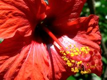 Große Nahaufnahme eines rot-blühenden Hibiscus Stockbilder