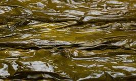 Große nasse Kelpblätter werden benutzt, um einzuwickeln und ein gesunder Lebensstil Lizenzfreies Stockfoto