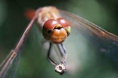 Große nette Augen von Libellen eines Insekts Stockbild