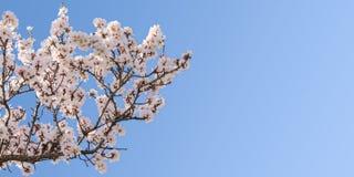 Große Niederlassung des Frühjahrblüten-Mandelbaums Stockfotografie