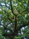 Große Niederlassungen eines alten Baums stockfotos