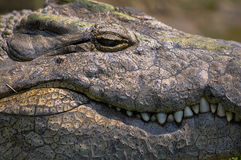 Große Nile Crocodile mit dem Zahndarstellen lizenzfreies stockfoto