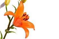 Große orange Liliumblume und Knospen auf weißem Hintergrund, Wassertropfen sichtbar auf tepals Lizenzfreie Stockfotografie