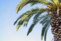 Große Palme gegen den blauen Himmel Stockfotografie