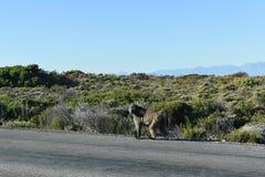 Große Paviane auf dem Straßenrand auf der Kap-Halbinsel bereisen in Cape Town, Südafrika Stockfoto
