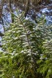 Große Pelzbaumniederlassung mit Schnee Stockbilder