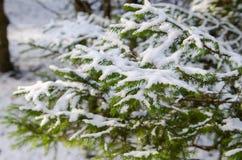 Große Pelzbaumniederlassung mit Schnee Stockfotografie