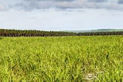 Große Plantage des Zuckerrohrs und der Kokosnuss Stockbilder