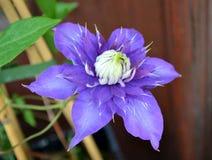 Große purpurrote Blume Lizenzfreie Stockbilder