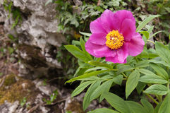 Große purpurrote Blume der Pfingstrose Lizenzfreies Stockfoto