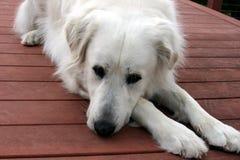 Große Pyrenäen-Hund, der auf Plattform niederlegt Lizenzfreie Stockfotos