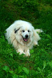 Große Pyrenees-Hund stockbilder