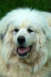 Große Pyrenees-Hund lizenzfreies stockbild