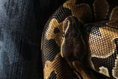 Große Pythonschlange, Nahaufnahme stockfotografie
