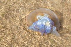 Große Quallen wuschen sich oben auf dem Ufer des Meeres Lizenzfreies Stockbild