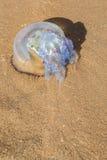 Große Quallen wuschen sich oben auf dem Ufer des Meeres Lizenzfreie Stockfotos